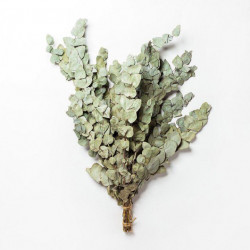 Веник из серебристого эвкалипта